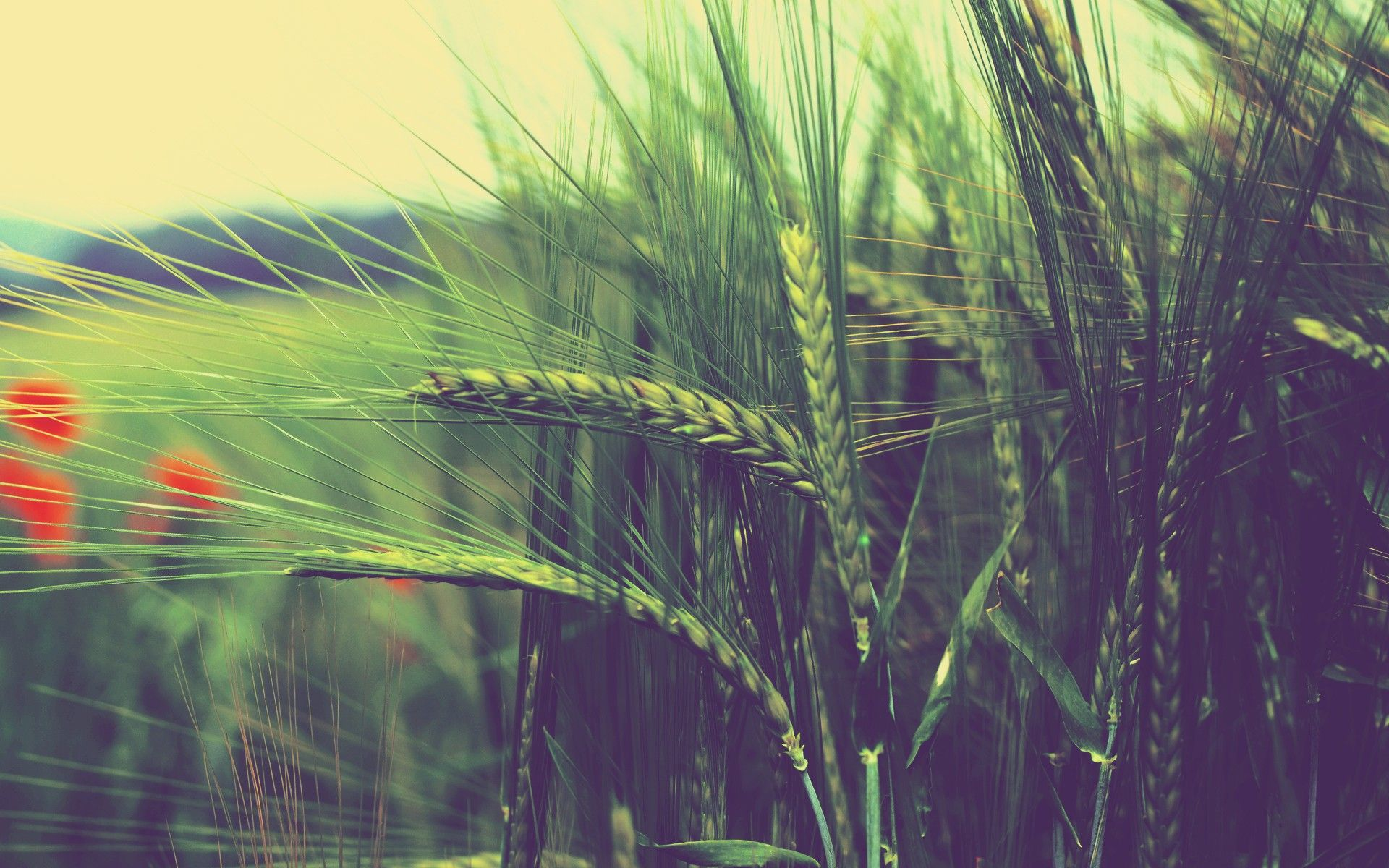 Nature-Fields-Summer-season-Wheat-Fresh-New-Hd-Wallpaper-2